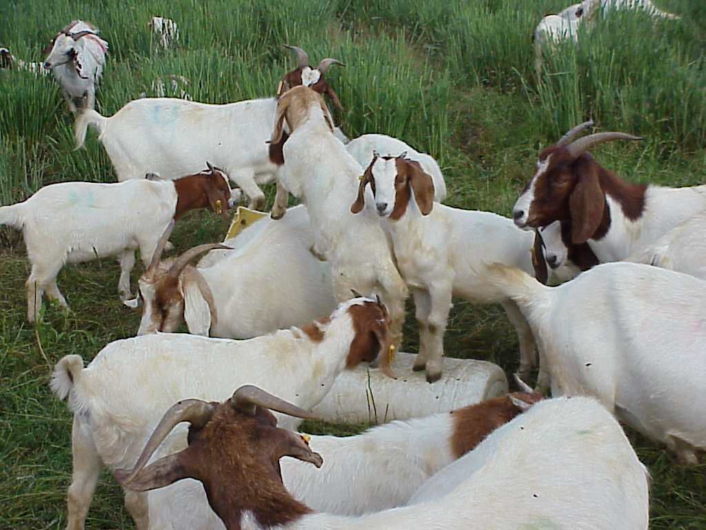 meat goats nc state extension