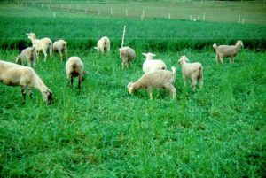 Cover photo for Central North Carolina Goat / Sheep Practical Management and Marketing Workshop